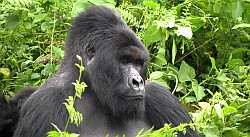 Nyiragongo 2011, Berg Gorillas Kongo, by Th. Boeckel